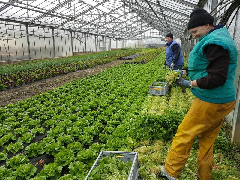 Soalwi Gemüse im Gewächshaus